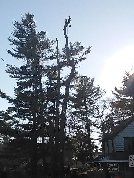 Tree take down in Brunswick Maine